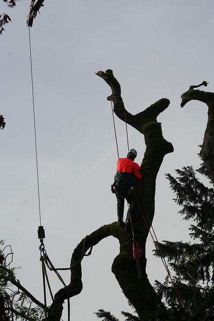 Tree lopping ringwood